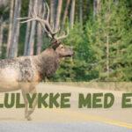 Bilulykke med elg